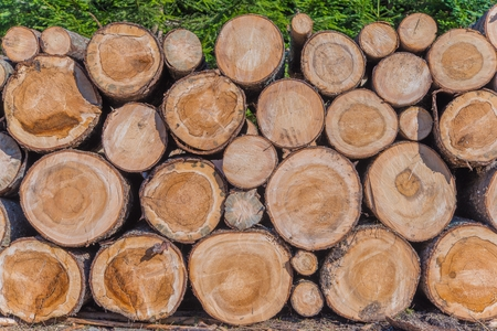timberland: Timber Lumber Industry. Fresh Wood Logs Awaiting Transportation in the Forest. Production of Forest Wood Products. Timberland.