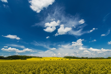 biodiesel plant: Rapeseed Fields Early Summer Landscape. Yellow Rape Fields. Scenic Nature Photo Background. Stock Photo
