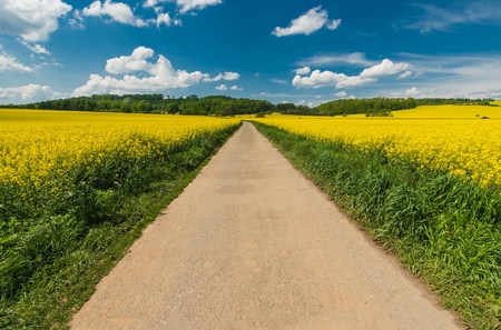 Scenic Summer Road Through the Yellow Flowering Rapeseed Fields.