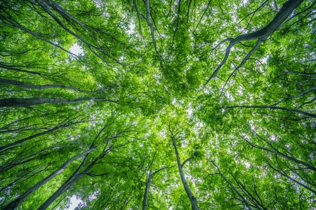 canopy: Summer Forest Canopy Nature Photo Background. Forestry. Stock Photo