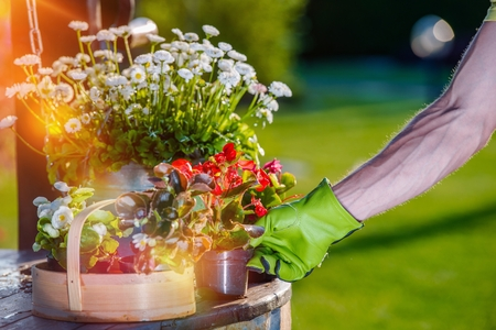 flowers garden: Taking Care of Garden Flowers. Gardeners Hand Placing New Flowers in His Favorite Garden Spot.