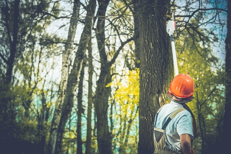 Branchen Ungesundes Baumfällungen von Professional Waldarbeiter. Standard-Bild - 62415832