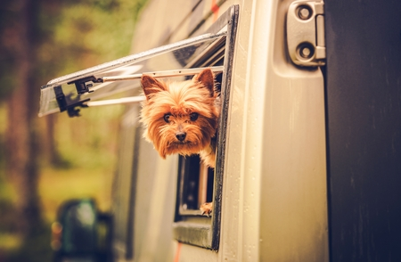 motorcoach: RV Travel with Dog. Motorhome Traveling with Pet. Middle Age Australian Silky Terrier in Motorcoach Window Looking Around.