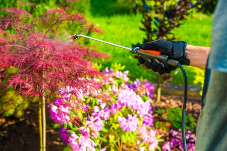 riesgo quimico: Pest Control in the Garden. Gardener Spraying Garden Flowers.