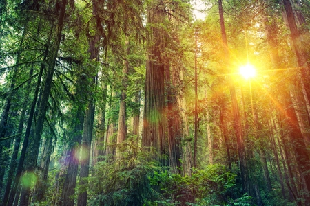 Scenic Wald Sonnenuntergang. Redwood Forest Landschaft. Kalifornien Vereinigte Staaten Standard-Bild - 62488412
