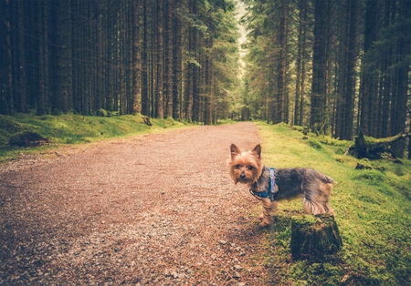 Forest Trail Dog Walk. Australian Silky Terrier on the Forest Trail.