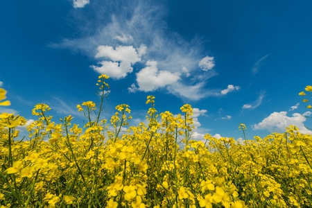 Flowering Yellow Rapeseed Field and the Blue Summer Sky.