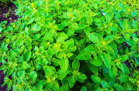 Cultivation Organic Oregano. Oregano Plant Closeup Photo.