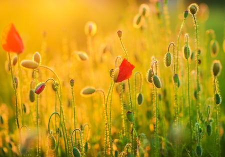 fleurs des champs: Flowering Spring Meadow Closeup. Flowering Poppies Nature Photo Background. Banque d'images