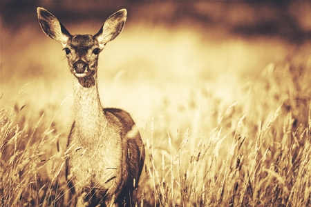 Elk and the Meadow. Northern California, United States. Golden Sepia Color Grading Photo.
