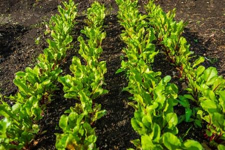 Close-up foto van de tuinpatchet Organisch Gekweekte Rode Biet