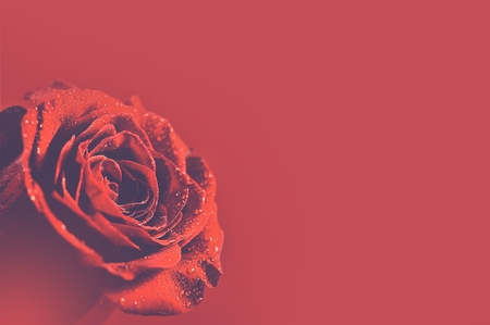 red flower: Red Burgundy Background with Rose.