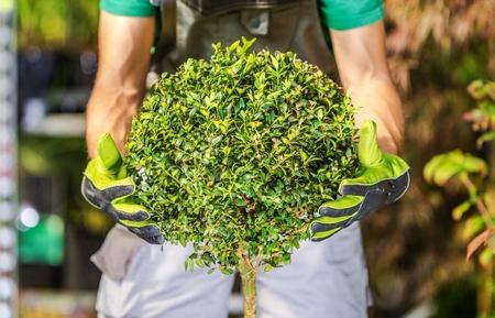 paysagiste: Topiary Shrub Façonner bien fait. Arbuste en forme de boule. Thème de jardinage.