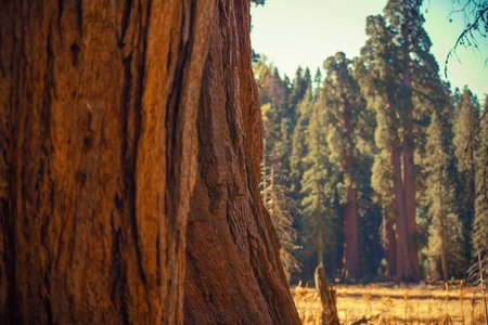 Giant Sequoias Trail in California Sierra Nevada Mountains.  Stock Photo