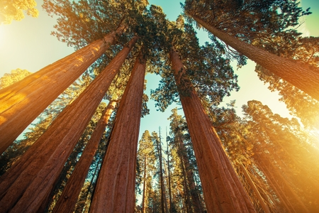 Giant Sequoias Redwood. Ancient Forest of Sierra Nevada Mountains. United States of America. Stock Photo
