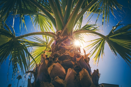 Coachella Valley Palm Tree Closeup. Southern California Vegetation. United States of America.