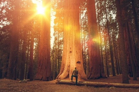 Caucasian Hiker in His 30s in Front of Giant Sequoia. Sierra Nevada Ancient Forest.