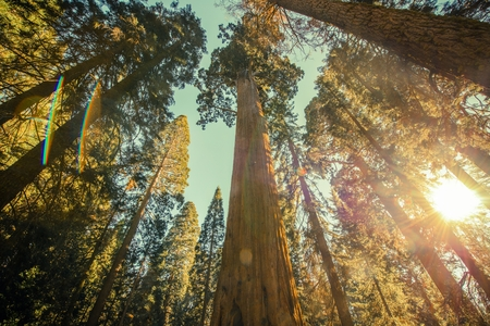 Sequoia National Park. Giant Redwood Sequoia Grove. Wide Angle Canopy Vista with Bright Fall Sunlight.