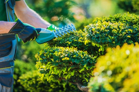 Plants Topiary Trimming by Cordless Trimmer. Closeup Photo. Professional Gardening Theme. Reklamní fotografie