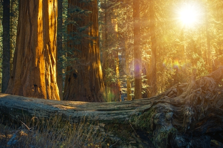 Scenic Giant Sequoias Forest and the Fallen Redwood Tree During Sunset. Ancient Forest in the Sierra Nevada Mountains in the State of California, United States of America.
