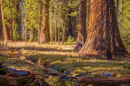 The Giant Sequoias Place. Ancient Forest of the Sierra Nevada Mountains. California, USA.