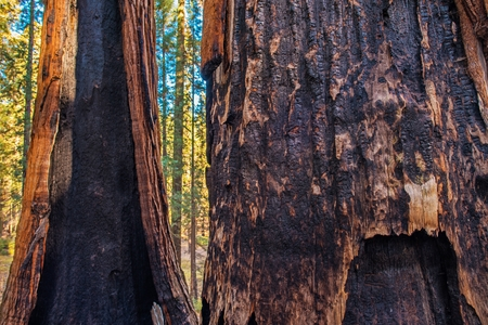 Burned Ancient Forest. Giant Sequoias After Wildfire. Sierra Nevada, California, United States of America.