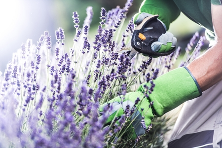 Flowers and Gardening Theme. Caucasian Gardener Taking Care of His Flowers. Flowering Heather Фото со стока