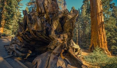 California Sequoia National Park Place. Sierra Nevada Mountains.