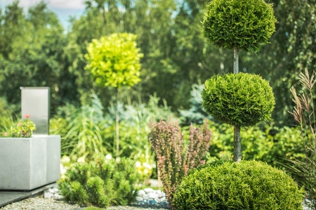 Topiary Art of Clipping Shrubs and Trees in the Garden. Sphered Thuja. Gardening Photo Theme.