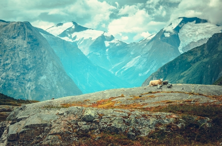 Scenic Norwegian Landscape with Sheep Laying on a Rock. Mountains and Glaciers in a Background. Reklamní fotografie