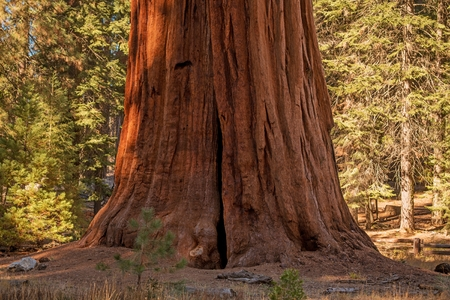 Giant Sequoia Tree in the California Sierra Nevada Mountains. United States of America.
