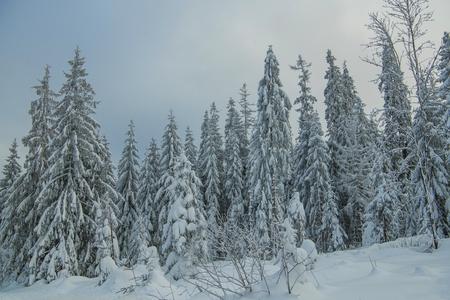 Spruce Trees Covered by Heavy Snow. Forest Winter Landscape. Reklamní fotografie