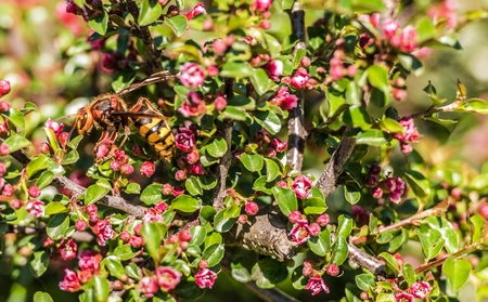 Hornet on a Flower Closeup Photo. Hornets Are the Largest of the Eusocial Wasps.