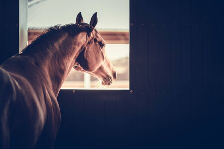 Mature Horse in a Stable Box Looking Outside of His Box Window. Equestrian Facility Theme. Archivio Fotografico