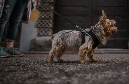10 Years Old Australian Silky Terrier on a Leash. Walking with Pet. Imagens