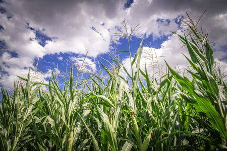 Corn Field and the Cloudy Blue Sky Closeup Photo. Agriculture Theme.