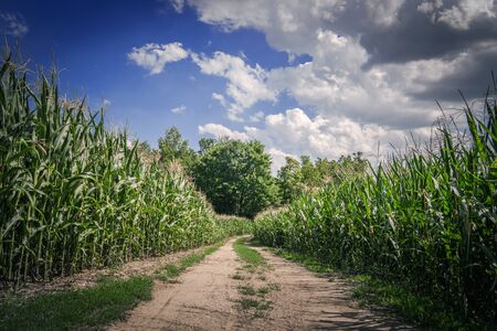 Farmlands Countryside Road Between Corn Fields. Agriculture Theme. Summer Scenery.