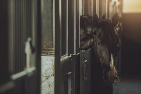 Dark Brown Horse in a Stable Box. Equestrian Facility. Horse Riding Theme.