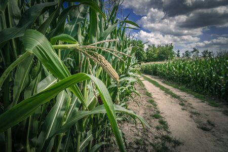 Corn Fields Country Road. Scenic Summer Day Rural Place.