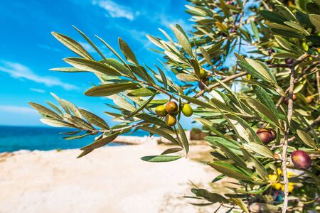 Mediterranean Olive Tree Branches Closeup Photo. Sunny Sea Front Orchards.