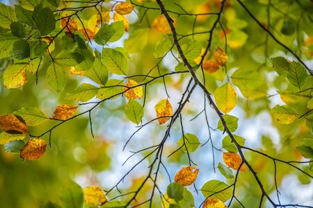 Fall Leaves Background. Green and Yellowish Tree Leaf. Autumn Theme. Stok Fotoğraf