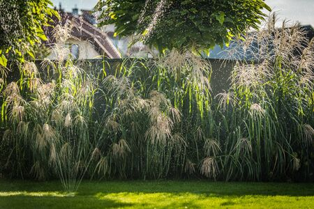 Ornamental Grasses in Modern Residential Garden. Underground Backyard Watering System. Running Sprinkler.