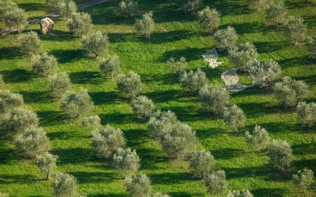 Italian Olive Grove Harvesting. Olive Fruits Picking Time During Fall Season. Tuscany Region of the Italy.