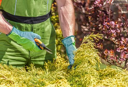 Close Up Of Caucasian Male Gardener Pruning Bushes  In Yard With Hand Sheers. Banque d'images