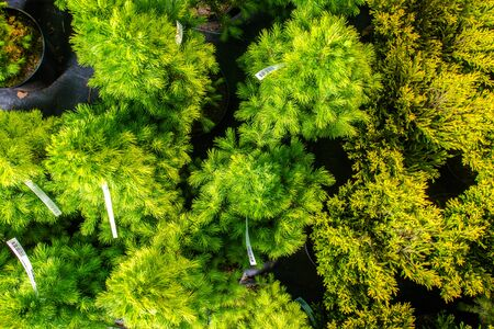 Close Up View From Above Of Variety Of Evergreen Small Trees In Pots At Gardent Center.  Stock fotó
