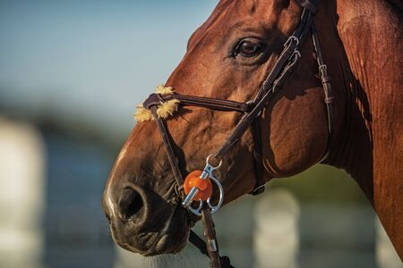 Equestrian Industry Theme. Brown Horse Head Close Up Photo. Horse Riding.