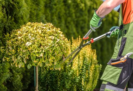 Agriculture and Landscaping Theme. Garden Trees Shaping by Caucasian Professional Gardener. Large Scissors in Hands of Men.