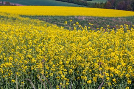 Natural Landscape Of Bright Yellow Field Of Flowering Rapeseed in Countryside.  Stock fotó