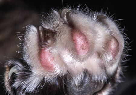 Close Up Of Furry Cat Paw With Distinctive Pink Padas And Four Sharp Claws.