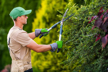 Seasonal Garden Plants Trimming by Professional Caucasian Gardener. Large Pro Scissors in Action. Landscaping and Gardening Industry Theme. Imagens